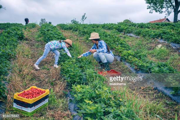 mother and daughter on organic strawberry farm - farm worker stock pictures, royalty-free photos & images