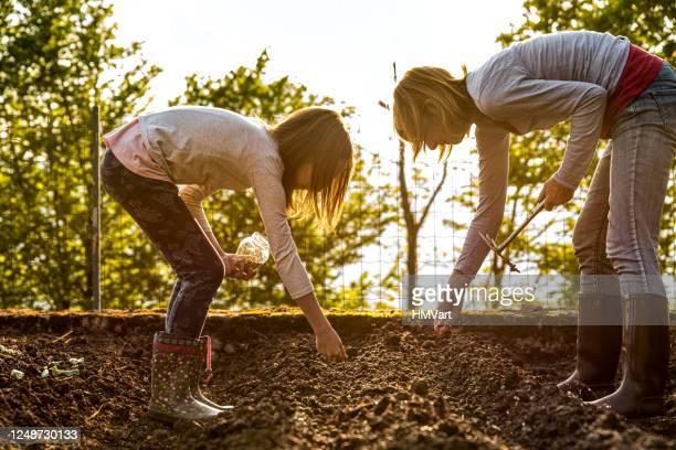 mutter und tochter säen grüne erbsen samen im frühling gemüsegarten - pflanzensamen stock-fotos und bilder