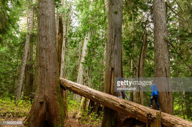 mother and daughter walking on fallen cedar tree - nature reserve stock pictures, royalty-free photos & images