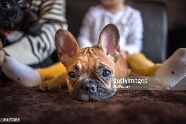 mother and daughter with french puppies - french bulldog stock pictures, royalty-free photos & images