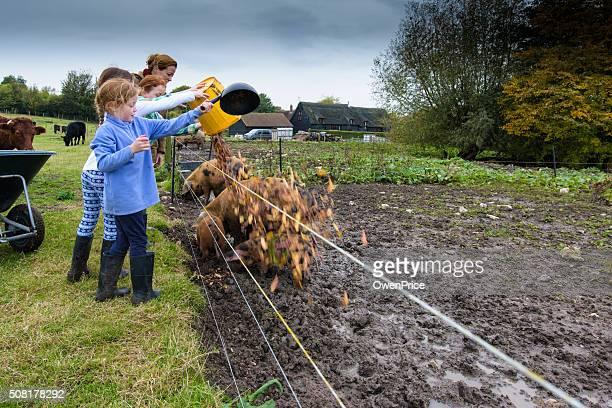 Madre e hijas la alimentación de los cerdos