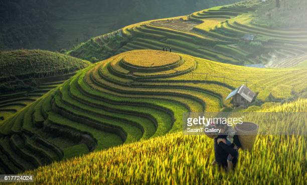 mother and dauther hmong, working at rice terrace - reisterrasse stock-fotos und bilder