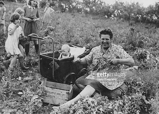 A mother and her children spend their holiday picking peas at a field in Kent 8th July 1944