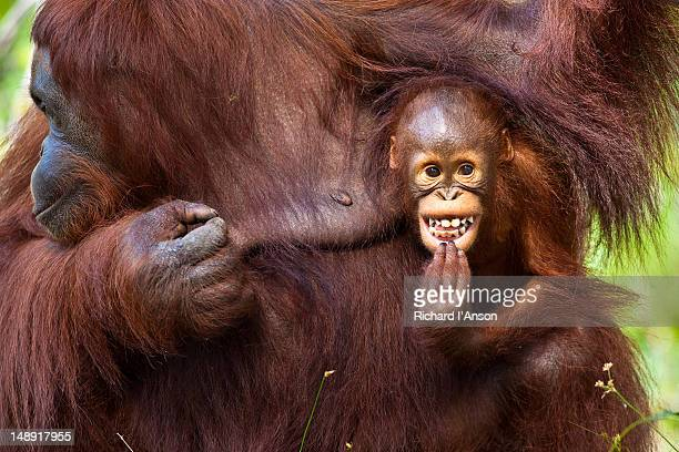Mother and infant orang-utans (Pongo pymaeus) at Semenggoh Wildlife Rehabilitation Centre.