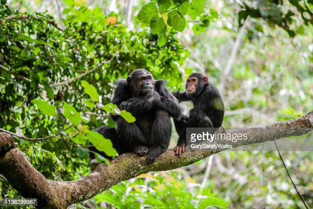 mother and juvenile chimpanzees - chimpanzee stock pictures, royalty-free photos & images
