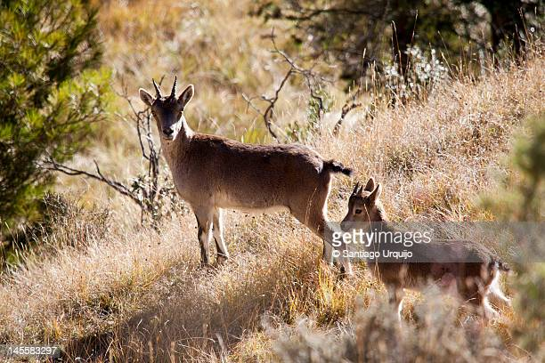 Mother and juvenile of Spanish Ibex