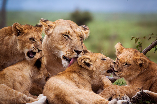 Mother and lion cubs 532181202
