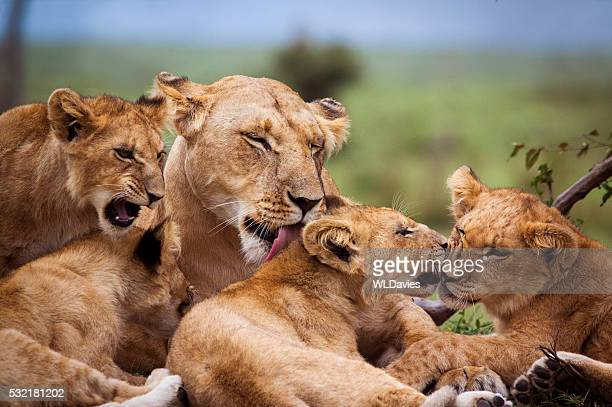 mother and lion cubs - lion stockfoto's en -beelden