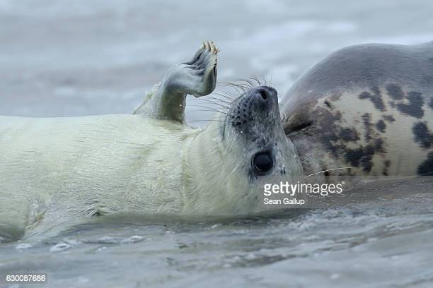 Mother and pup Atlantic grey seals frolic in the sea at the beach on December 16 2016 on the Duene portion of Heligoland archipelago Germany A local...