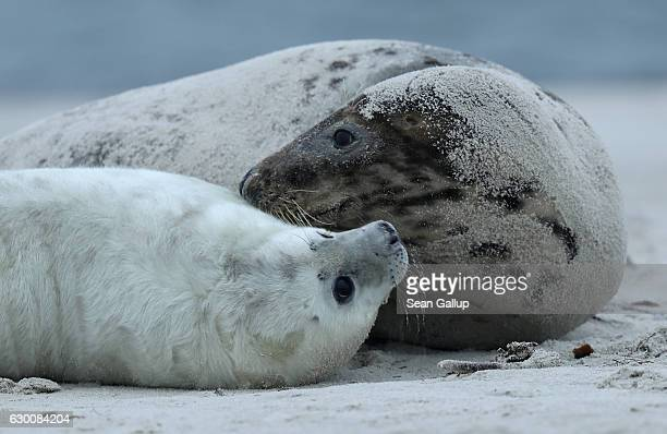 Mother and pup Atlantic grey seals lie on the beach on December 16 2016 on the Duene portion of Heligoland archipelago Germany A local environmental...