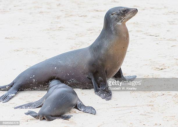 Mother and pup sea lions on the beach.  The pup is having lunch.