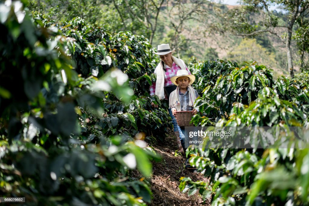 Mother and son collecting coffee beans at a farm : Stock Photo