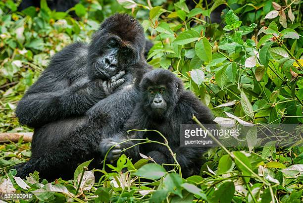 mother and son eastern lowland gorilla, congo, wildlife shot - gorilla stock pictures, royalty-free photos & images