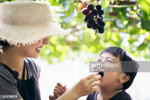 母と息子のブドウを収穫 - 日本人のみ ストックフォトと画像