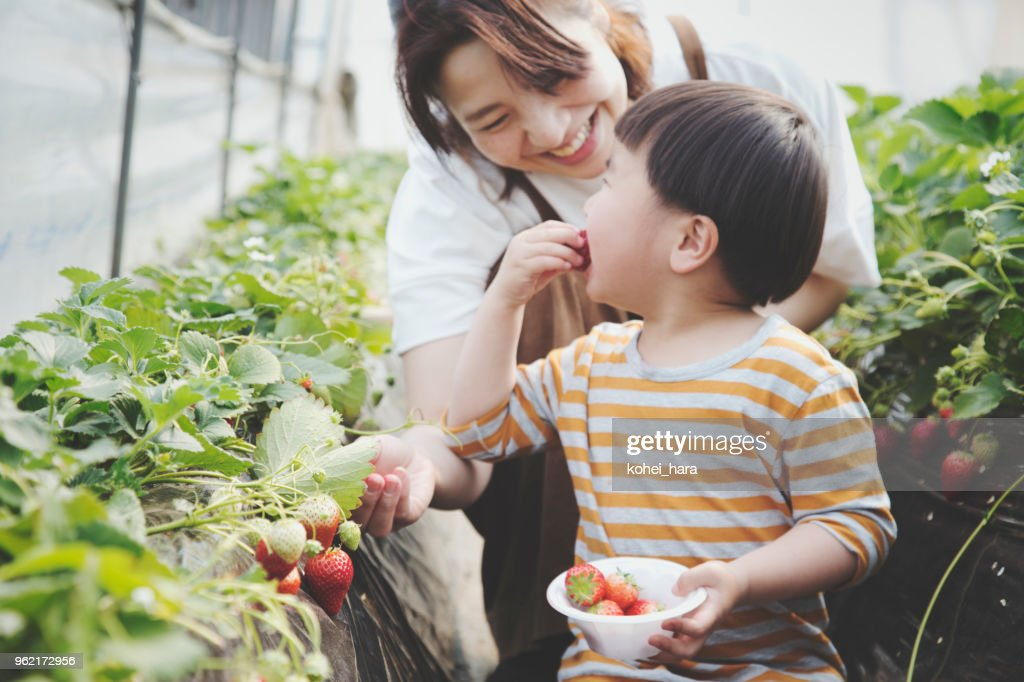 Mother and son harvesting strawberries : Stock Photo