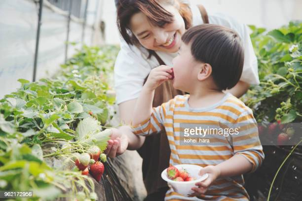 mother and son harvesting strawberries - japanese mom stock photos and pictures