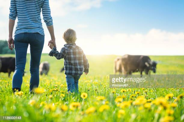 mother and son holding hands and looking at cows grazing on a meadow with dandelions - pasture stock pictures, royalty-free photos & images