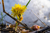 mother stepmother common tussilago farfara yellow