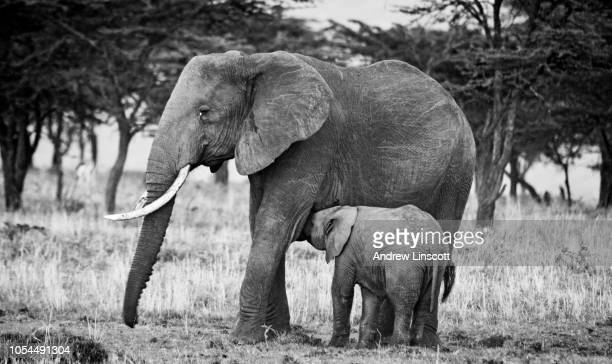 mother and sucking elephant calf in the masai mara, kenya, africa - safari animals stock pictures, royalty-free photos & images