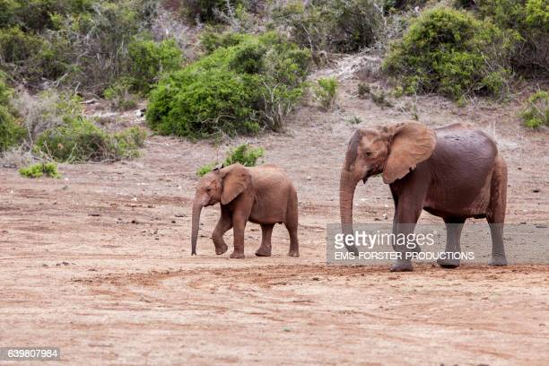 mother and young african elephant in addo park - walking around - ems forster productions stock pictures, royalty-free photos & images