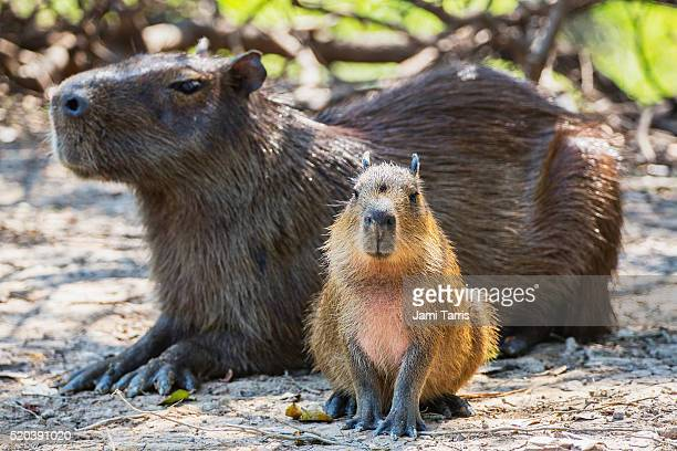 a mother and young capybara sitting in the shade - capybara stock pictures, royalty-free photos & images