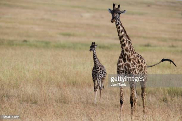 A mother and young giraffe walking over a savannah