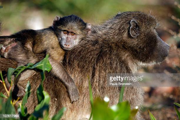A mother baboon carries her baby on her back July 2 2010 in Capetown South Africa Urbanisation has led to the loss of baboon habitat and increasing...