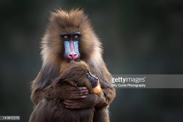Mother Baboon cuddling baby