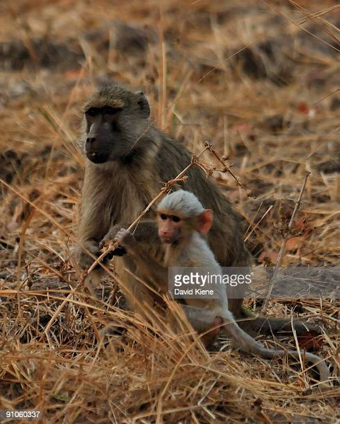 mother baboon with albino baby - albino monkey stock pictures, royalty-free photos & images