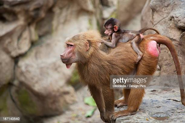 a mother baboon with her baby on her back at the singapore zoo - baboon stock photos and pictures