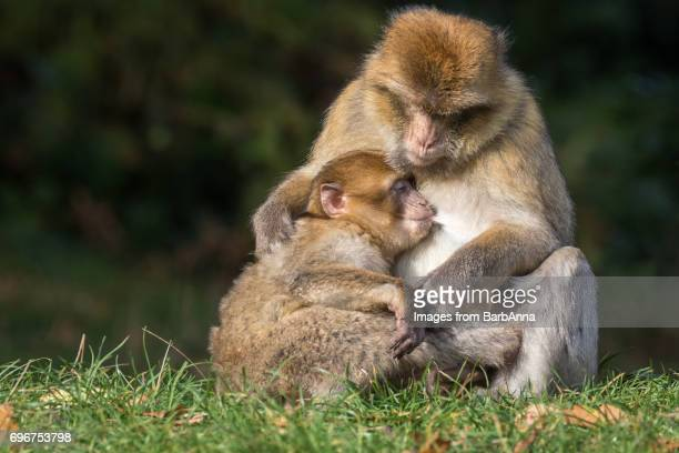 A Mother Barbary Macaque (Macaca sylvanus) holding her suckling youngster