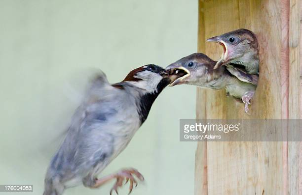 mother bird feeding its babies - montgomery county pennsylvania stock pictures, royalty-free photos & images