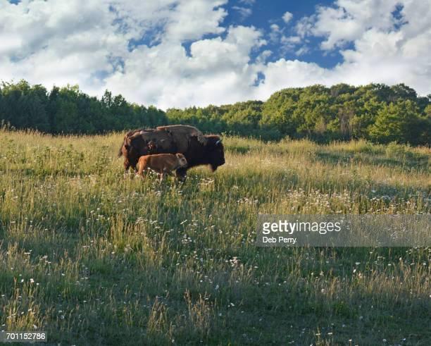 mother bison and baby - traverse city fotografías e imágenes de stock