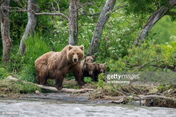 Mother Brown Bear And Her Cubs, Kamchatka, Russia.