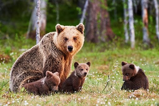 Mother brown bear and her cubs 537452174