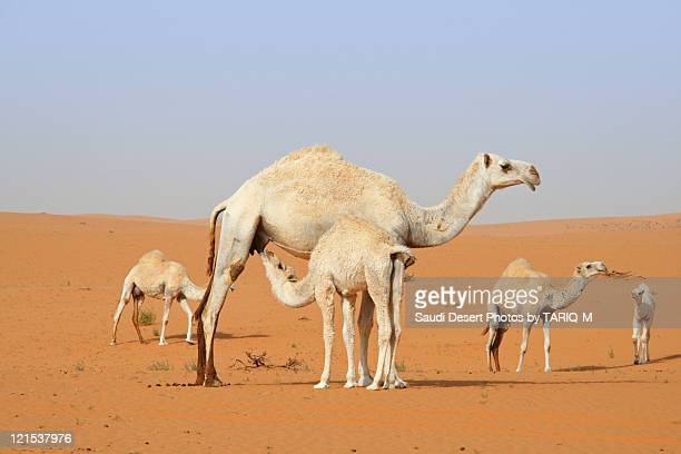 Mother camel and her children together