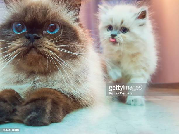 mother cat and kitten - animal whisker stock pictures, royalty-free photos & images