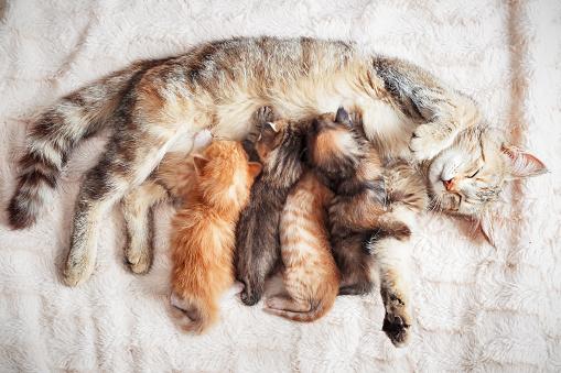 Mother cat nursing baby kittens 1070428270
