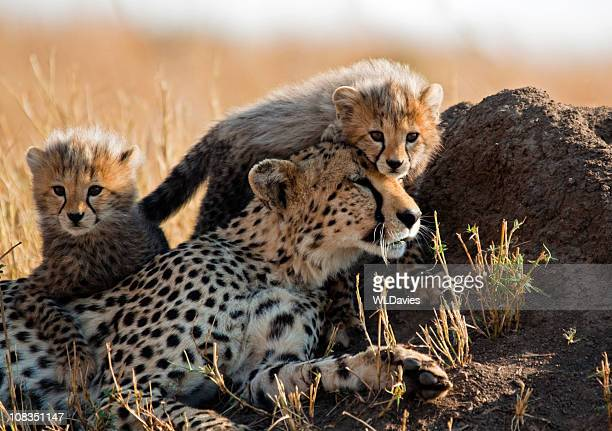 A mother cheetah and her adorable Cubs