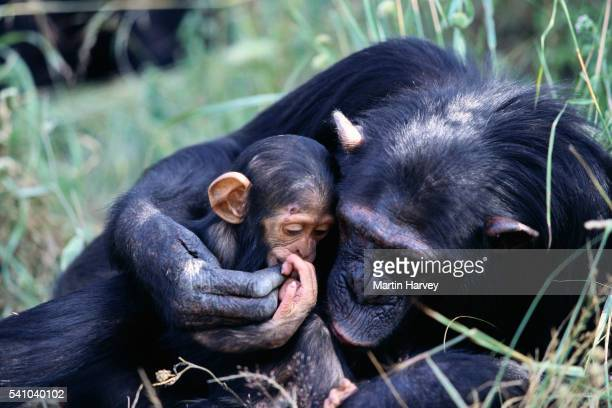 Mother Chimpanzee Holding Baby
