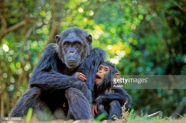 Mother Chimpanzee with offspring at Gombe Stream National Park Tanzania Date 250608