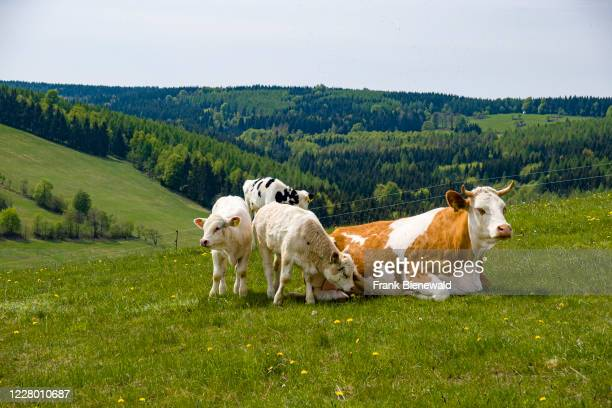 Mother cow and calves are relaxing on a pasture.