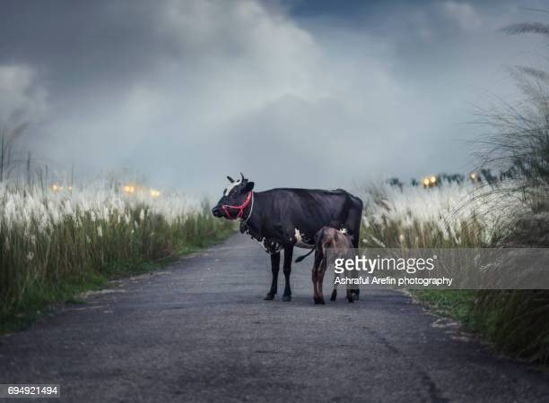A mother cow and her calf standing on a country road