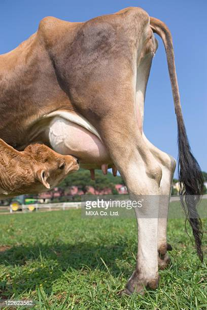 mother cow feeding calf - wild cattle stock photos and pictures