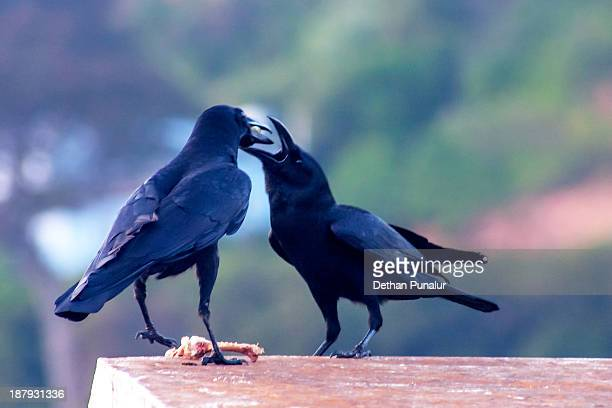 Mother crow feeding the young one