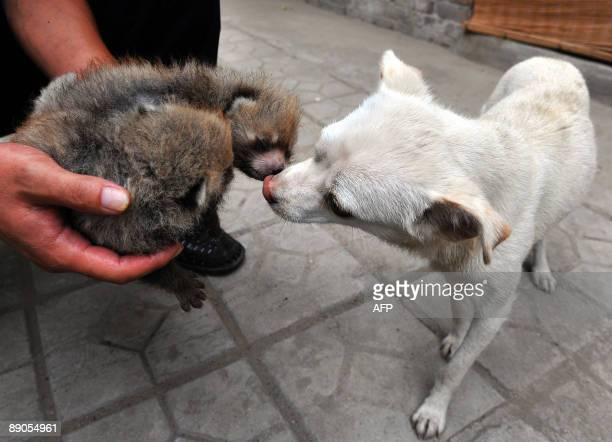 A mother dog gets acquainted with two red panda cubs who were abandoned by their mother soon after they were born at a zoo in Taiyuan northern...