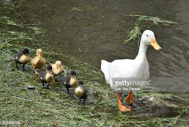 mother duck and ducklings - ugly duckling stock photos and pictures