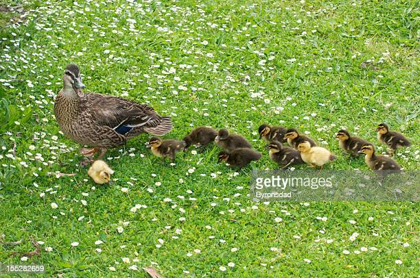 Mutter Ente & ducklings