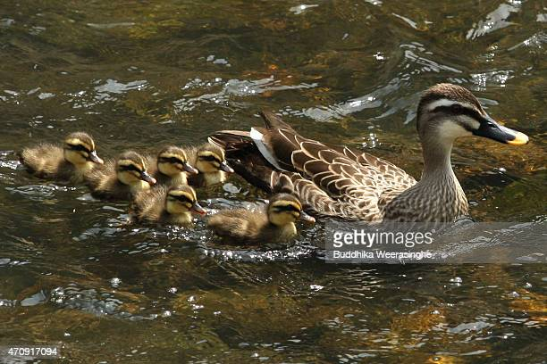 A mother duck leads the 11 newly born ducklings in search of food on the Ono River on April 24 2015 in Himeji Japan Local residents say each year the...