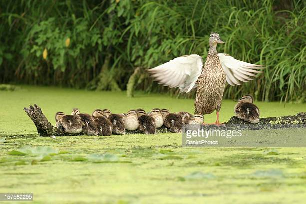 mother-duck-watching-over-ten-ducklings-